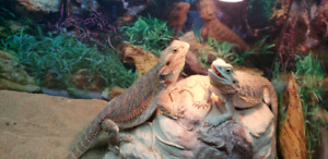 Bearded dragons with terrarium and supplies