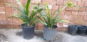 Orange clevia plants in 20 cm pot