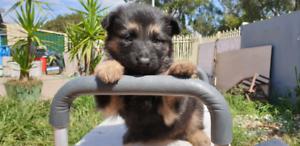Pure breed German shepherd Male pup