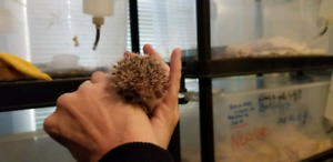 Baby hedgehog with cage and set up Alliston