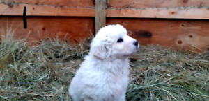 3/4 Great Pyrenees  puppies