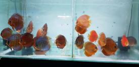 Various Discus Fish