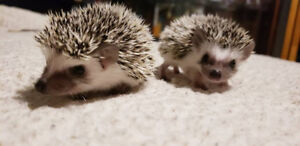 Bebes herissons pret a etre adopter Baby hedgehogs ♥