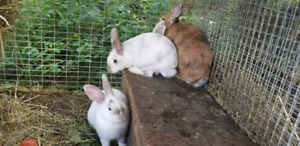 Rabbits - new Zealand / California cross