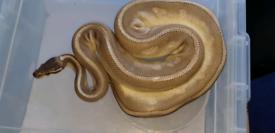 Snake in Edinburgh | Reptiles For Sale - Gumtree