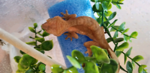 Juvi Male crested gecko