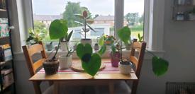 Small Monstera Plants