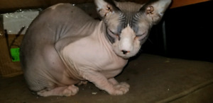 lost sphinx cat batchelor heights
