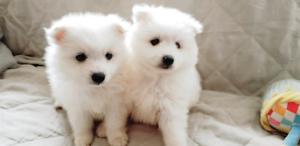 Cute Japanese spitz puppies