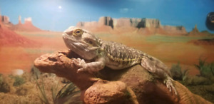 5 year old bearded dragon for sale 250 obo!