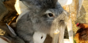 Valentines day lionhead lop eared x buck