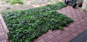 7 1m x 50cm Fern Leaf Hedging Panels Forrestdale Armadale Area Preview