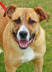 "Adult Male Dog - Boxer-Collie: ""Bailie"""