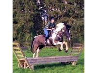 16.1 Welsh Part Bred Hun.ter / Allrounder