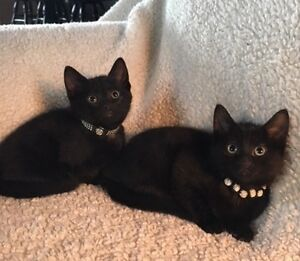 Sweet black kittens