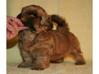 top quality shihtzu puppy