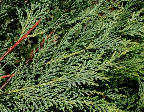 Where To Buy Christmas Tree Seedlings