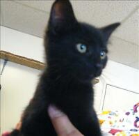 "Baby Male Cat - Domestic Short Hair: ""Fisher"""