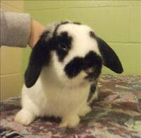 "Baby Male Rabbit - Holland Lop: ""Elfie"""