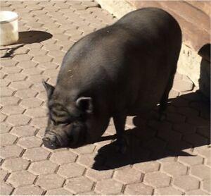 Potbelly pig , cheap
