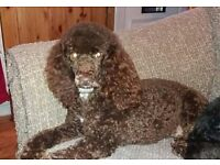 Mini poodle female for sale due to my heatlh problems
