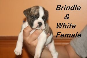 "Beautiful ""FRUG"" Puppies"