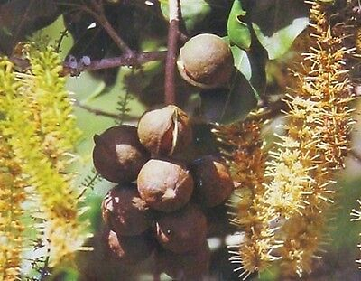 HAWAIIAN MACADAMIA NUTS ~ GROW NUT TREE FROM (Hawaiian Macadamia)