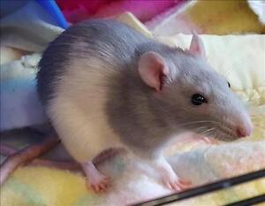 """Young Female Small & Furry - Rat: """"Luna"""""""
