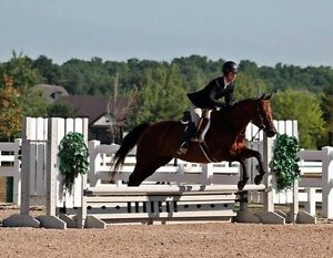 14.2hh large pony mare