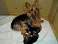 Toy Yorkies & morkies (all reserved)