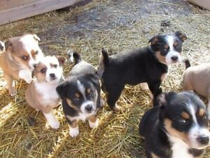 Australian Shepherd/Swiss Mountain X- Puppies for sale