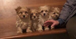 Maltese/yorkie puppies