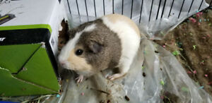 1 yr old 2  guinea pigs looking for a new home. Cage
