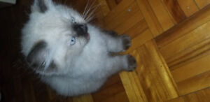 One female seal point Himalayan kitten for sale