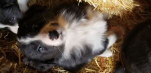 Reduced 6 weeks old boardcollie puppies