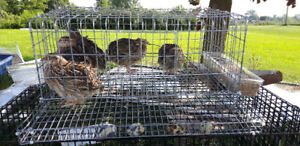 Quails and quail cages for sale