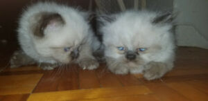 2 beautiful female seal point Himalayan kittens for sale