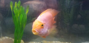 Parrot Cichlid Looking for a New Home