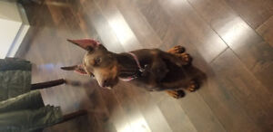 Doberman for rehome