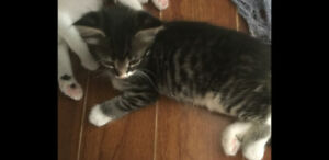 Grey tabby kitten for rehoming