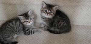 ADORABLE KITTENS READY TO GO