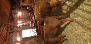 Feeder Calves for Sale