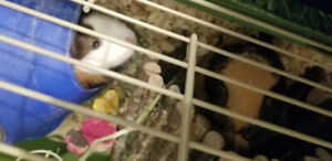 Guinea Pig brothers and roomy cage