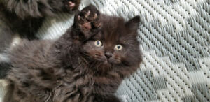 Dollface chocolate persian/himalayan kittens for sale!