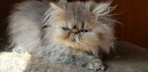 RARER LILAC TABBY EXTREME PERSIAN MALE KITTEN,  READY NOW!!!