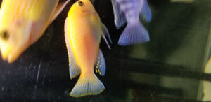 African Cichlids for good price