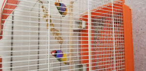 Goudian Finches pair with cage