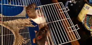 2 Male Rats with Cage