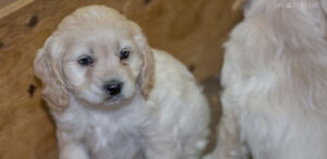 Cockapoo puppies, born Valentine's day,  checked over by vet.