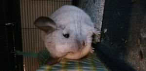 2 Chinchillas for rehoming